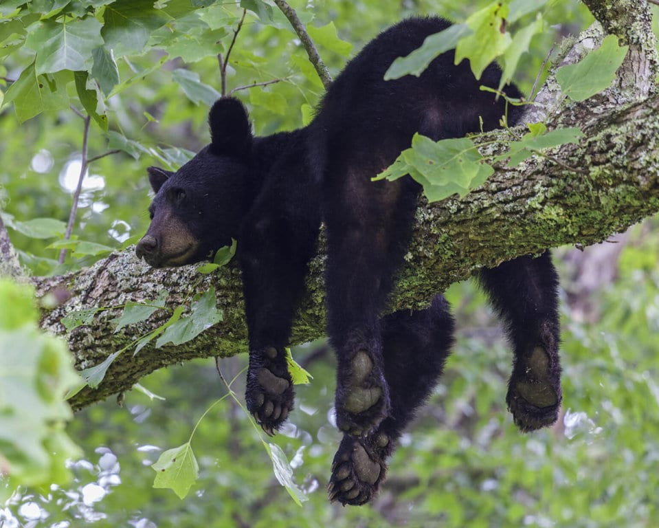 The Danger of Black Bears